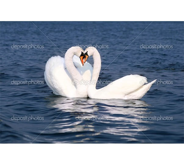 depositphotos_1948100-Swans-fall-in-love
