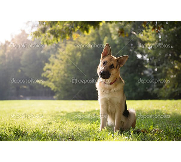 depositphotos_21234935-Young-purebreed-alsatian-dog-in