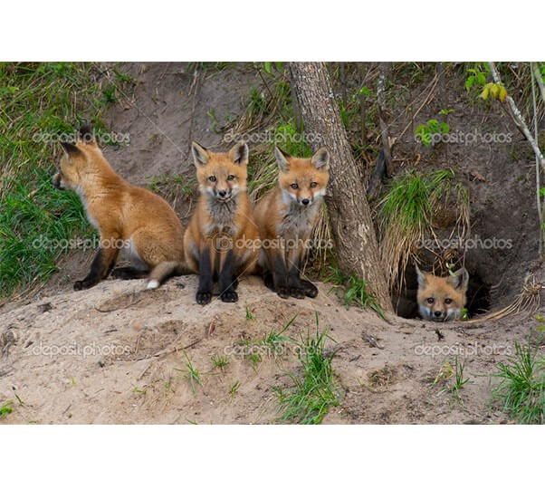 depositphotos_26362591-Red-fox-kits-at-their