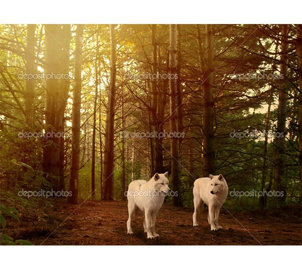 depositphotos_37760337-Wolves-in-woods