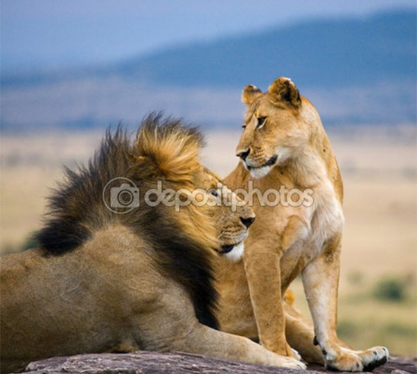 depositphotos_71494801-Lions-male-and-female